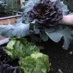 Salat-Ernte